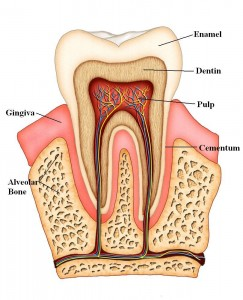 anatomy-of-a-tooth[1]